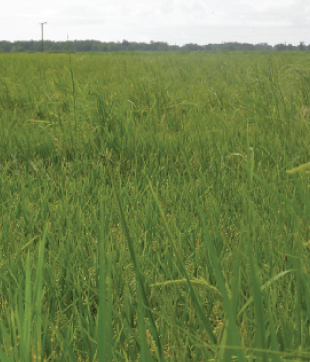 "Dr. Eric Webster, LSU AgCenter weed scientist, refers to rice fields like the one above as ""weedy rice,"" which may consist of red rice outcrosses with one of the Clearfield lines or red rice outcrosses with a hybrid or dormant F2 hybrids coming up in a field of newly planted F1 hybrids."