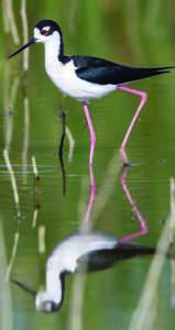 Black-necked Stilt in rice country.