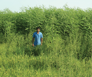 Dr. Suhas Vyavhare stands in front of a bad patch of hemp sesbania in an organic rice field. The farmer could not harvest the infested areas.