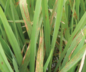 The symptoms of rice blast include lesions that can be seen on all parts of the plant. Pressure typically increases as the season progresses.