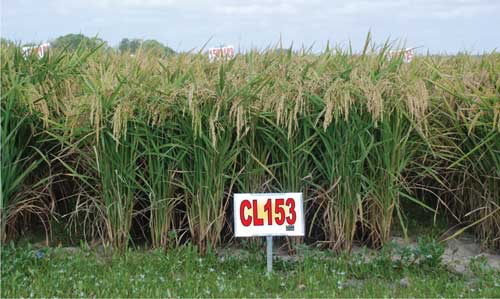 After observing CL153 in yield tests across the Southern rice-growing region, Dr. Steve Linscombe says this variety appears to be very similar in yield potential to CL151 and has less chalk.