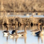ducks in winter rice