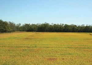 """Hopperburn"" to ratoon rice refers to bronzing of foliage symptomatic of planthopper damage."