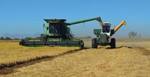 rice combine harvest
