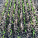 rice planted into standing rye