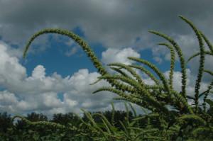 3-weeds-palmer-amarantha-uga-sm