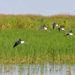bird habitat in rice fields