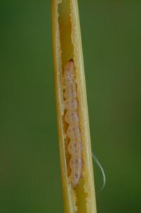 Mexican rice borer larva