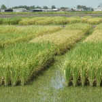 TAMU rice trials 2015