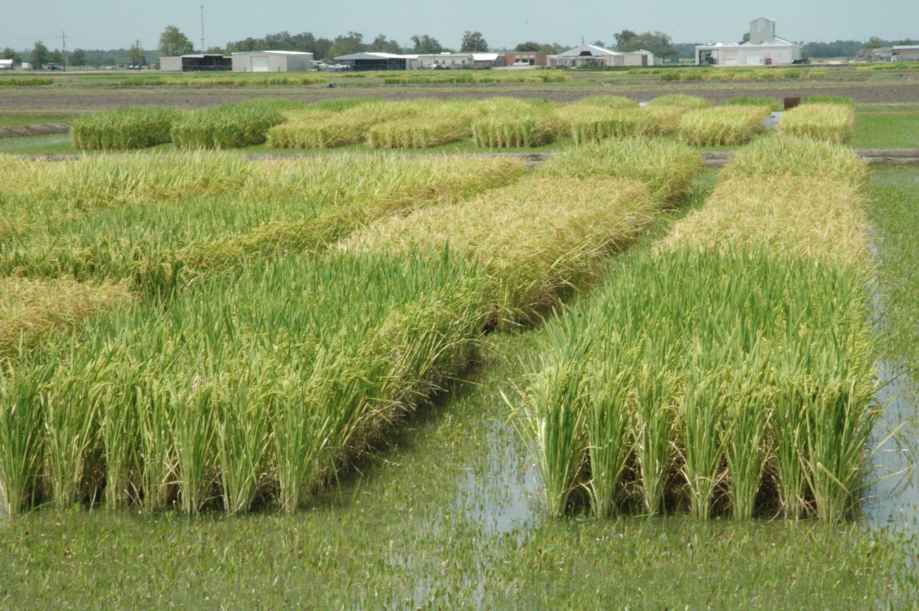 Cultivatorii europeni de orez cer acces la biotehnologii