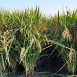 Thad rice variety