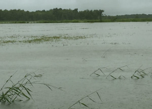 flooded Louisiana rice