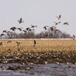 waterfowl in Louisiana rice fields