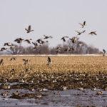 waterfowl in Louisiana rice fields