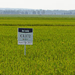 Horizon Ag CL172 Clerafield rice
