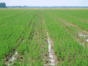 row rice