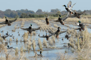 ducks in a winter-flooded rice field