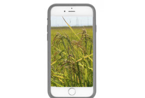 Got weedy rice? There's an app for that