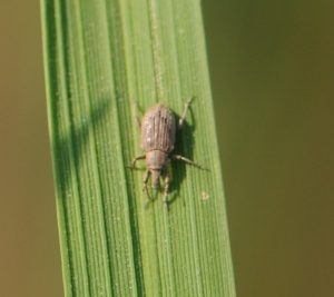 rice water weevil