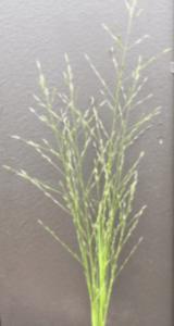 stinkgrass