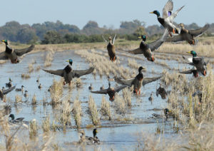 mallards flushing from rice