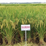 diamond rice variety