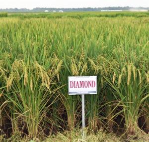 diamond rice variety