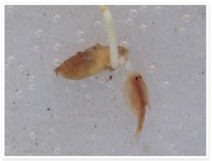 tadpole shrimp feeding on a rice seedling