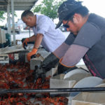 crawfish sizing