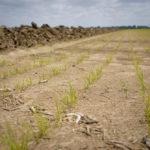Mississippi rice emergence