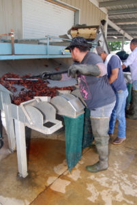 crawfish grading