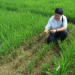 sampling for rice blast