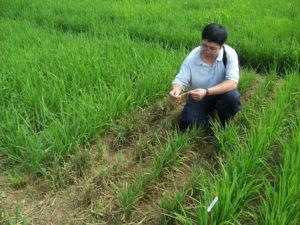 sampling for rice blast