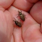 rice levee billbugs