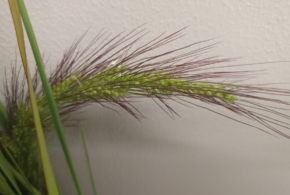 Be on the lookout for new watergrass in California