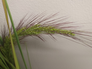 new watergrass species