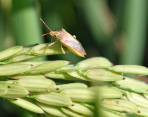 rice stink bug feeds on a rice kernel