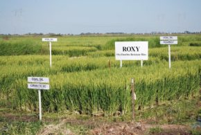 California Rice Experiment Station partners with Albaugh on ROXY Rice