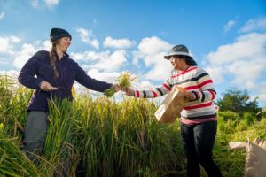 breeding heat-tolerant rice