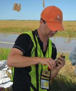 banding a sora rail in a rice field