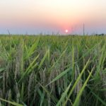 arkansas rice awaits harvest