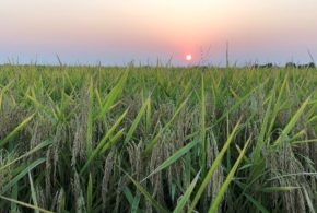 Year of extremes took a toll on Arkansas rice and soybeans