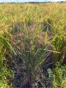 drought tolerant rice varieties