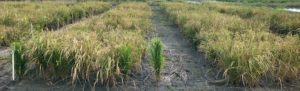 advanced rice lines in beaumont