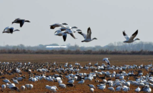geese in a winter rice field