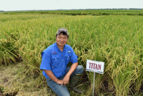 Kellogg's approves Titan medium grain for use in its cereals