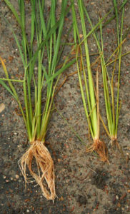 effects of insecticide seed treatments