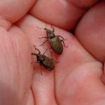 billbugs in hand