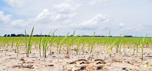 young rice NE Arkansas