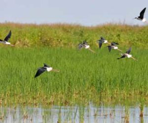 stilts in texas rice